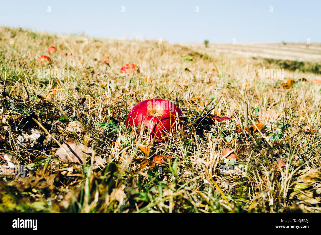 Red apples in the grass autumn Stock Photo