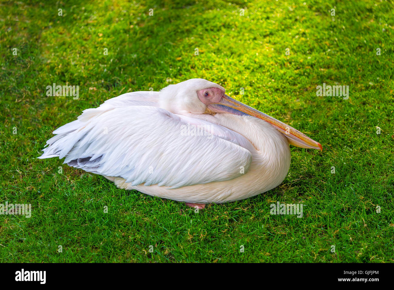 Friendly colorful pelican picture - Stock Image