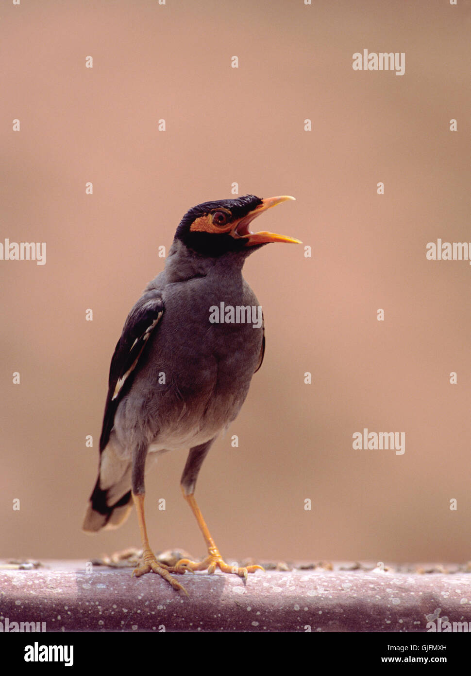 Bank Myna, Acridotheres ginginianus, adult bird,Bharatpur, Rajasthan, India, standing on wall, beak wide open to - Stock Image