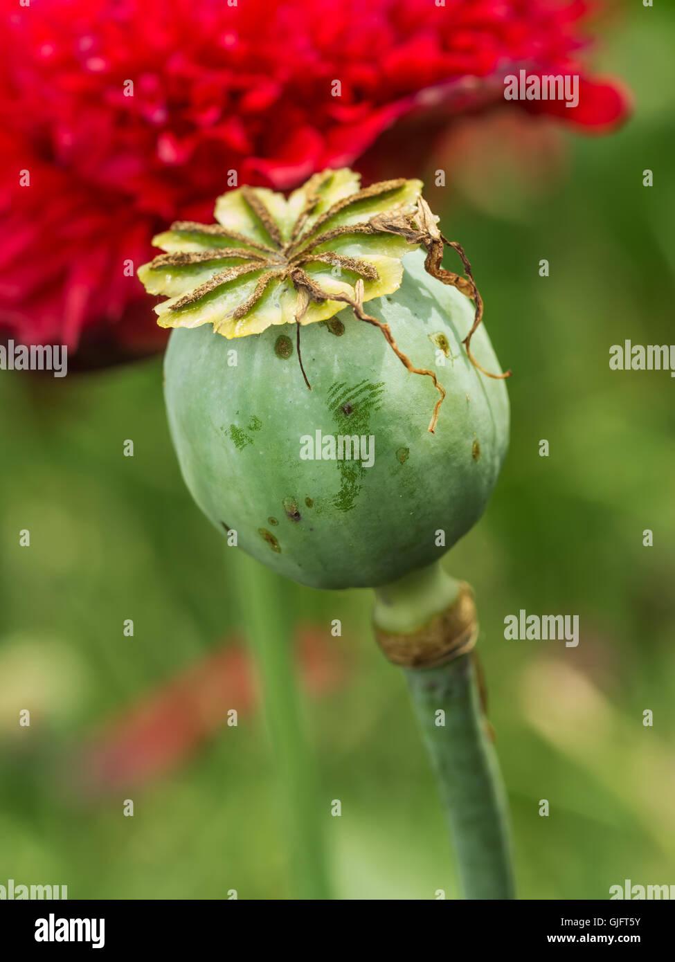 Red Opium Poppy Flower In Stock Photos Red Opium Poppy Flower In