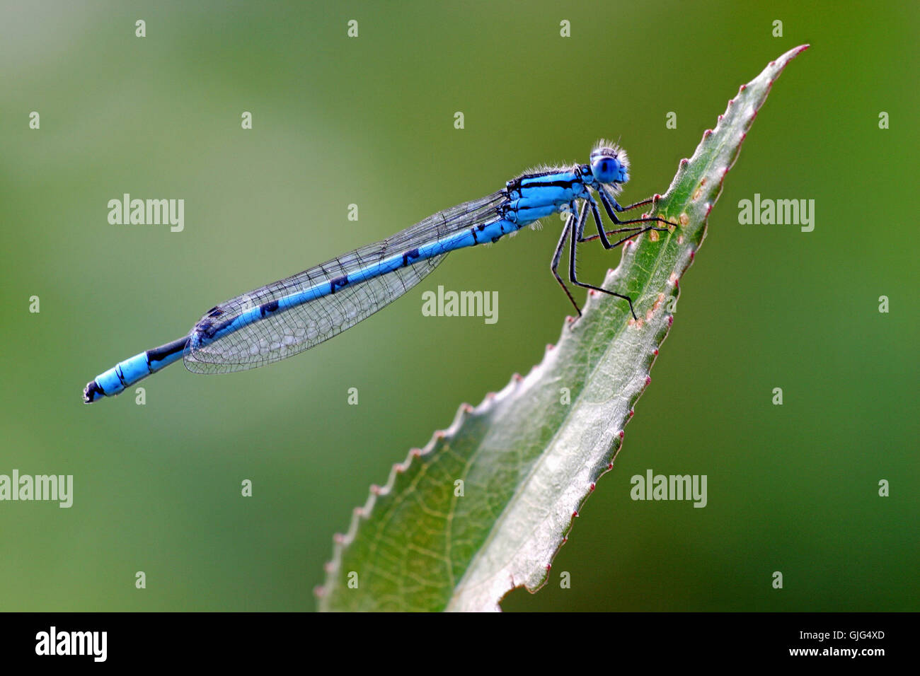 dragonfly dragonflies hufeisenazurjungfer - Stock Image