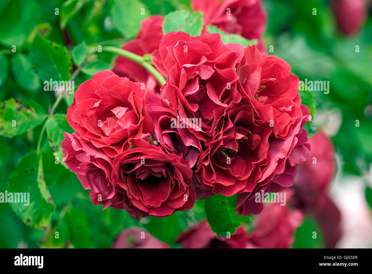 climbing rose red flame stock photo 114681191 alamy. Black Bedroom Furniture Sets. Home Design Ideas
