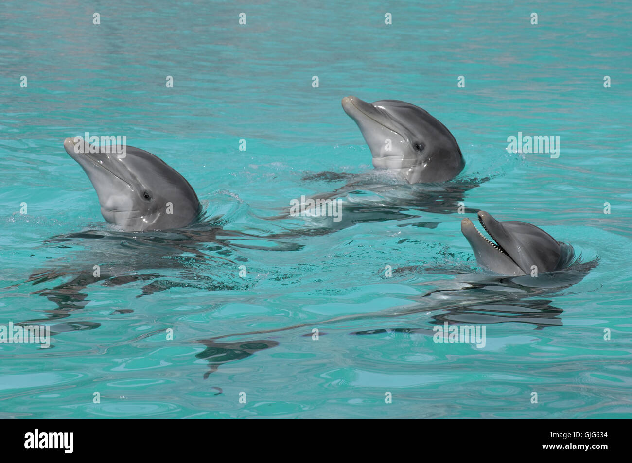 three synchronized swimming dolphins - Stock Image