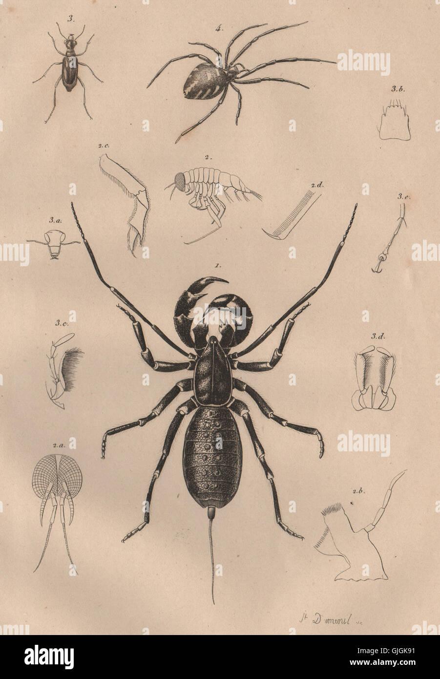 SPIDERS: Thelyphonida (Vinegaroon). Theridion (Black Widow Spider).Theratus 1834 - Stock Image