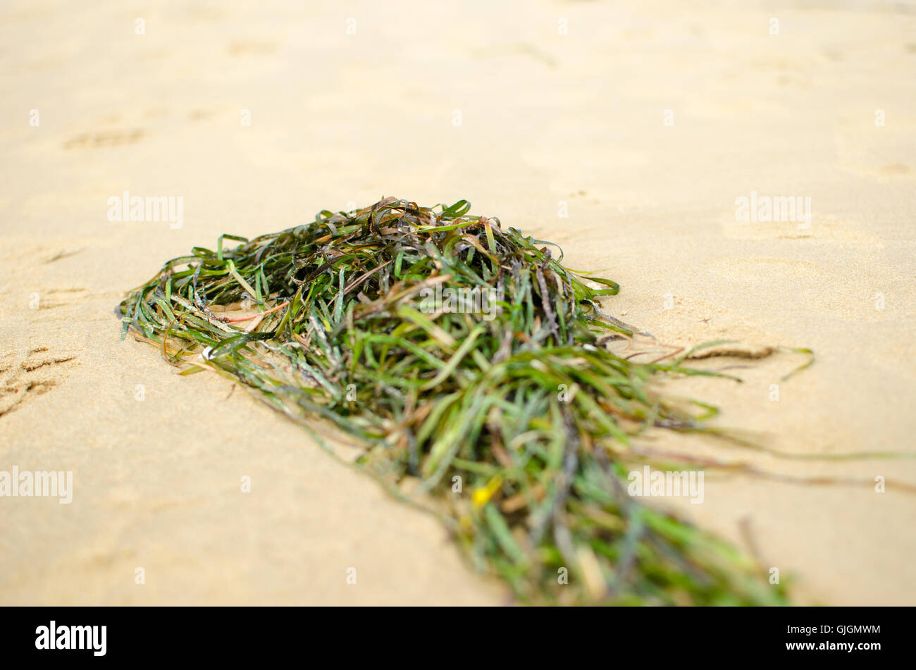 green algae on the beach closeup - Stock Image