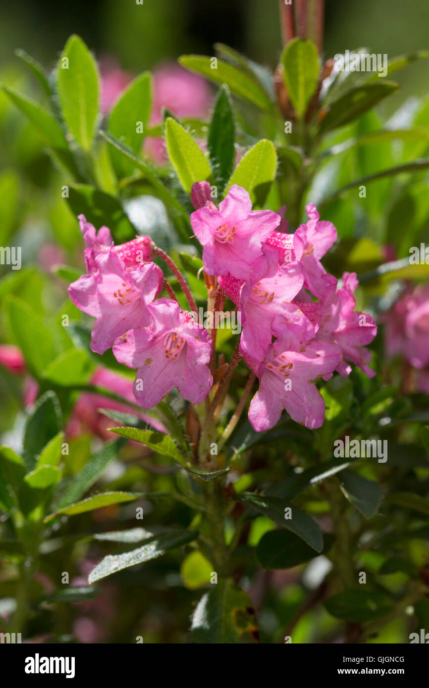 Bewimperte Alpenrose, Behaarte Alpenrose, Almrausch, Rhododendron hirsutum, Hairy Alpen Rose, Rhododendron pubescent, - Stock Image