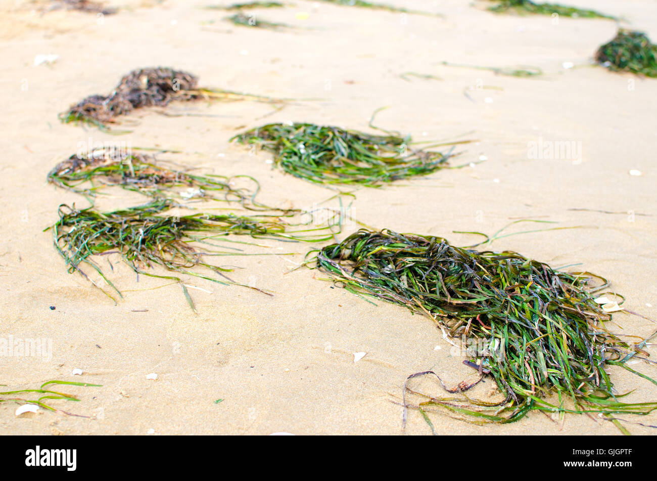 seaweed on the beach - Stock Image