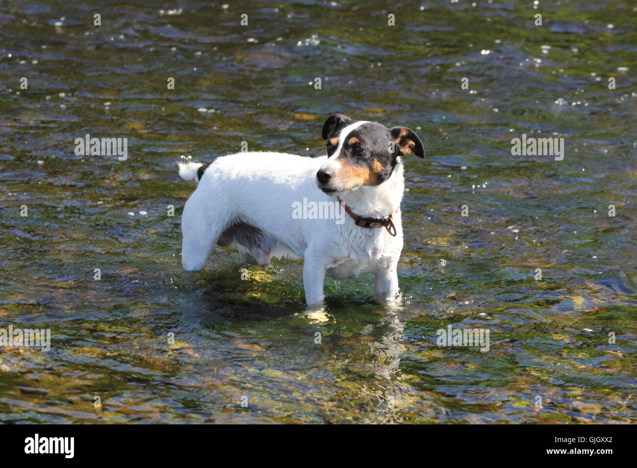 Aberystwyth, Wales, UK. 16th August, 2016. UK Weather: A hot day on the Welsh coast ! A Jack russell terrier & - Stock Image