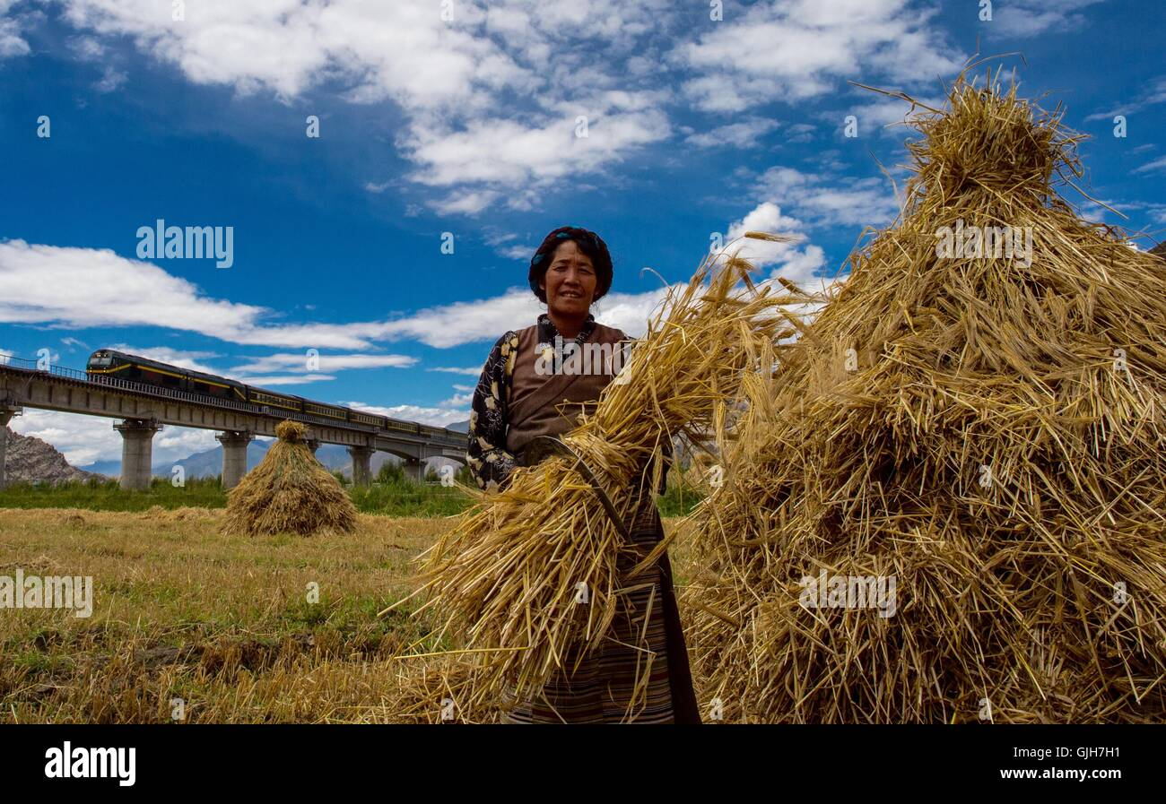 Lhasa, China's Tibet Autonomous Region. 17th Aug, 2016. Villager Pasang crops highland barley in the field near - Stock Image