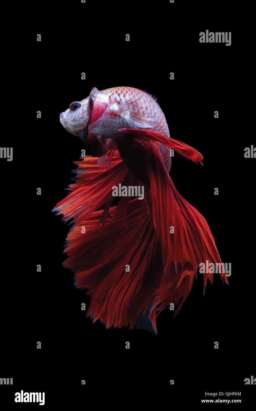Betta fish, Indonesia Stock Photo