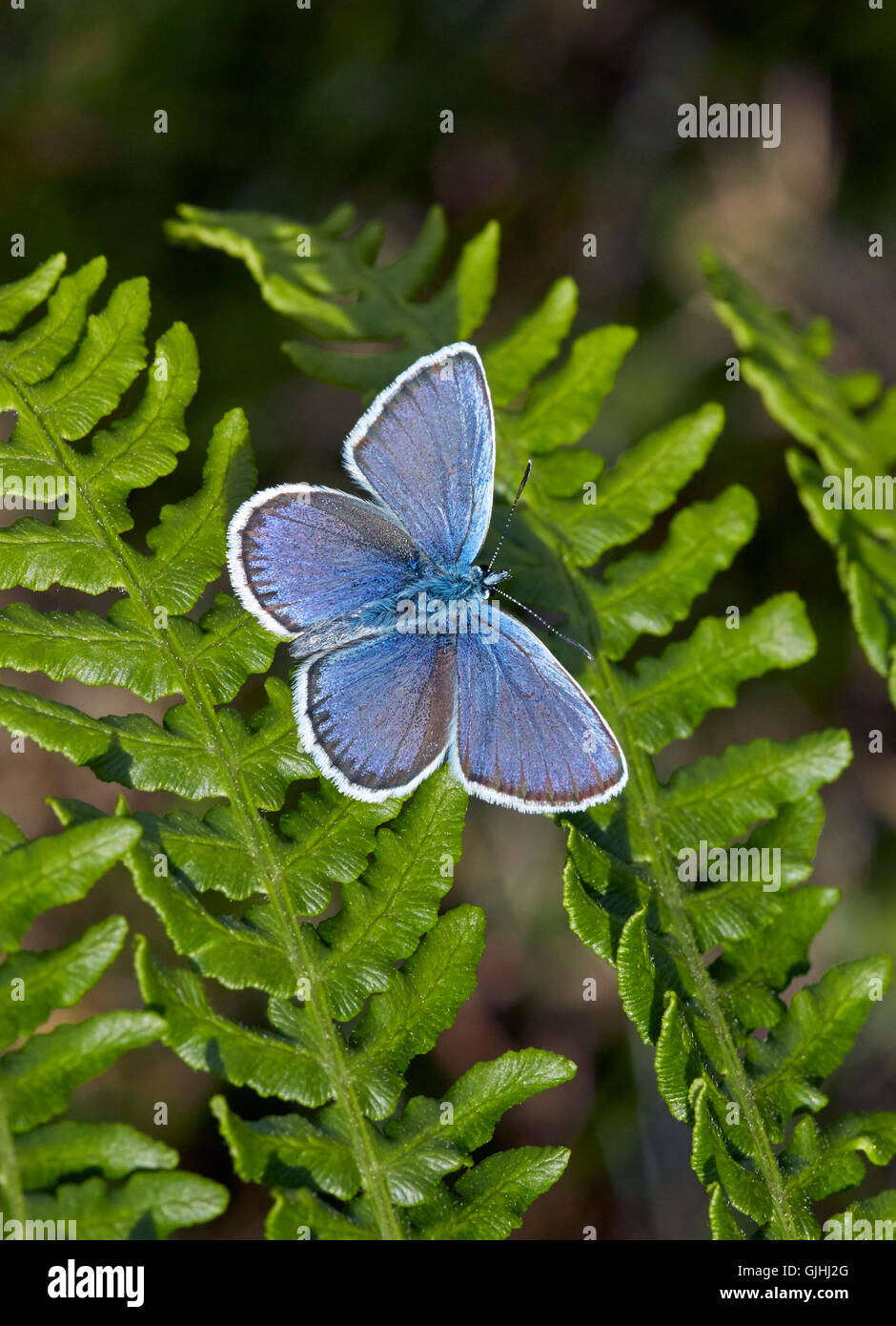 Silver-studded Blue perched on Bracken. Fairmile Common, Esher, Surrey, England. - Stock Image