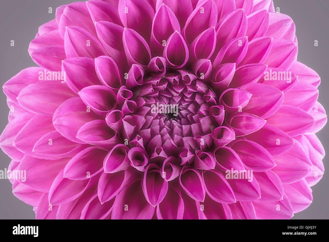 Purple Flower Petals Macro Of Chrysanthemum Stock Photo 114713423