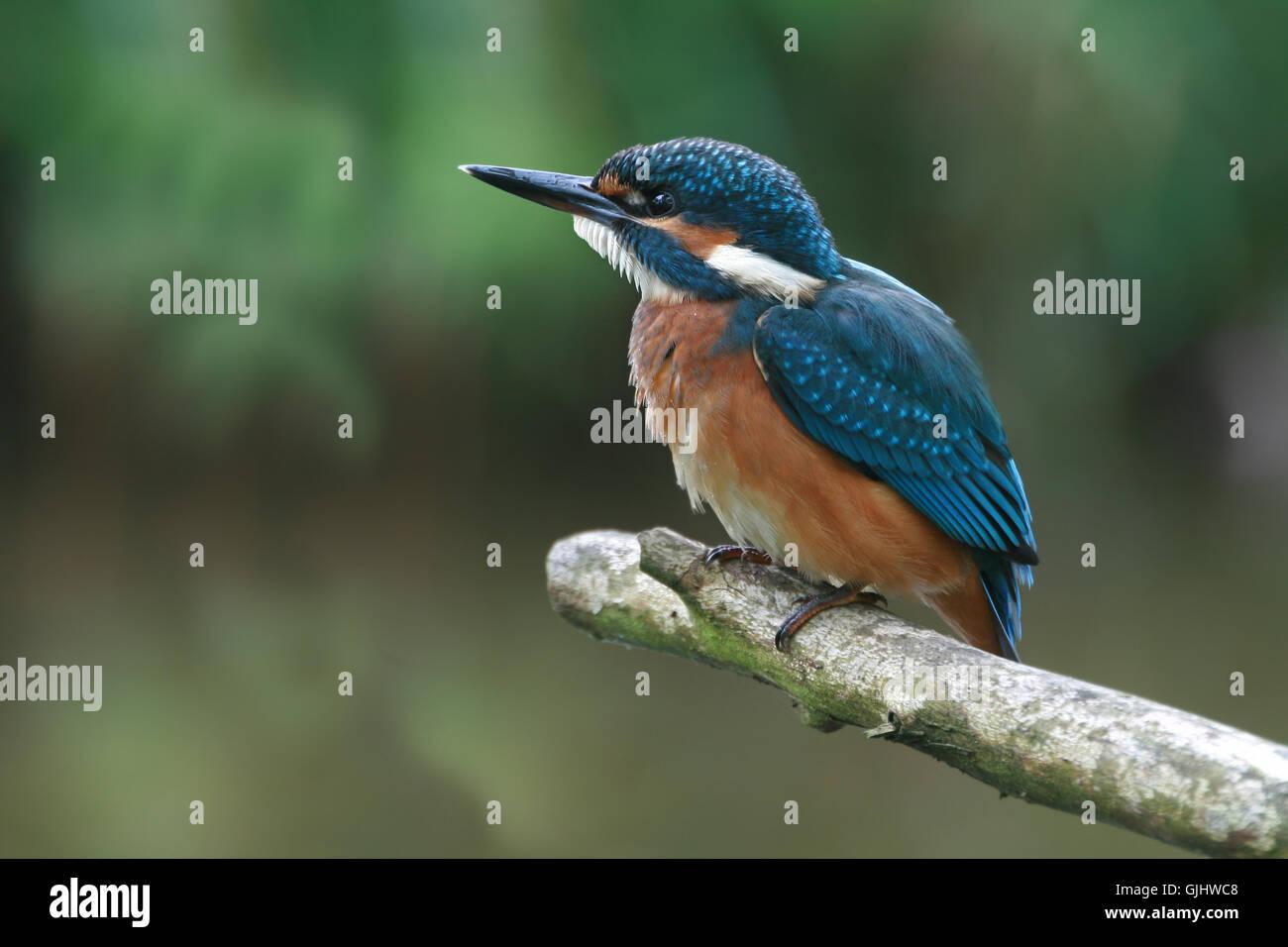 bird birds kingfisher - Stock Image