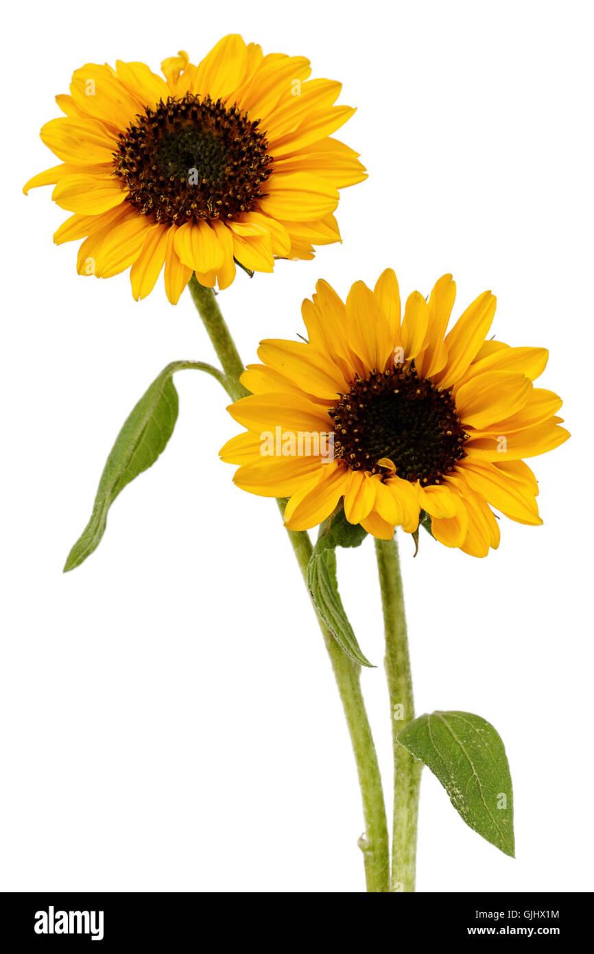 flower sunflower plant - Stock Image