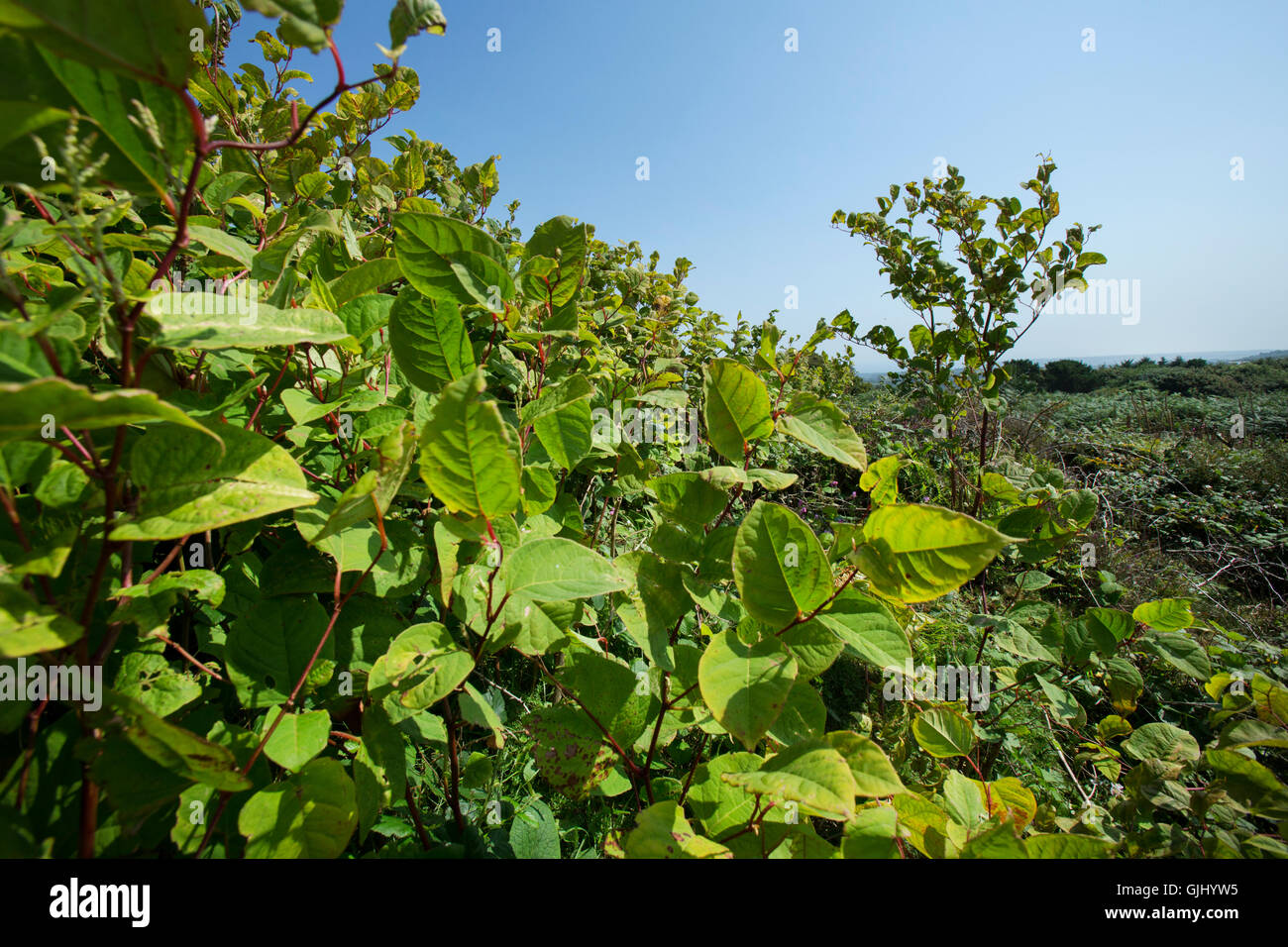 Growing to over six feet tall Japanese Knotweed is an invasive plant which can seriously damage buildings and construction Stock Photo