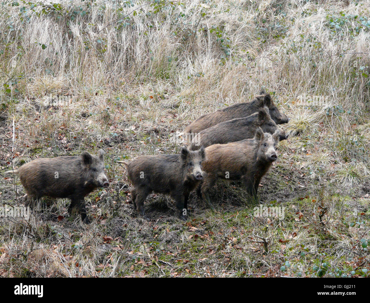 wildlife wild boars boars - Stock Image