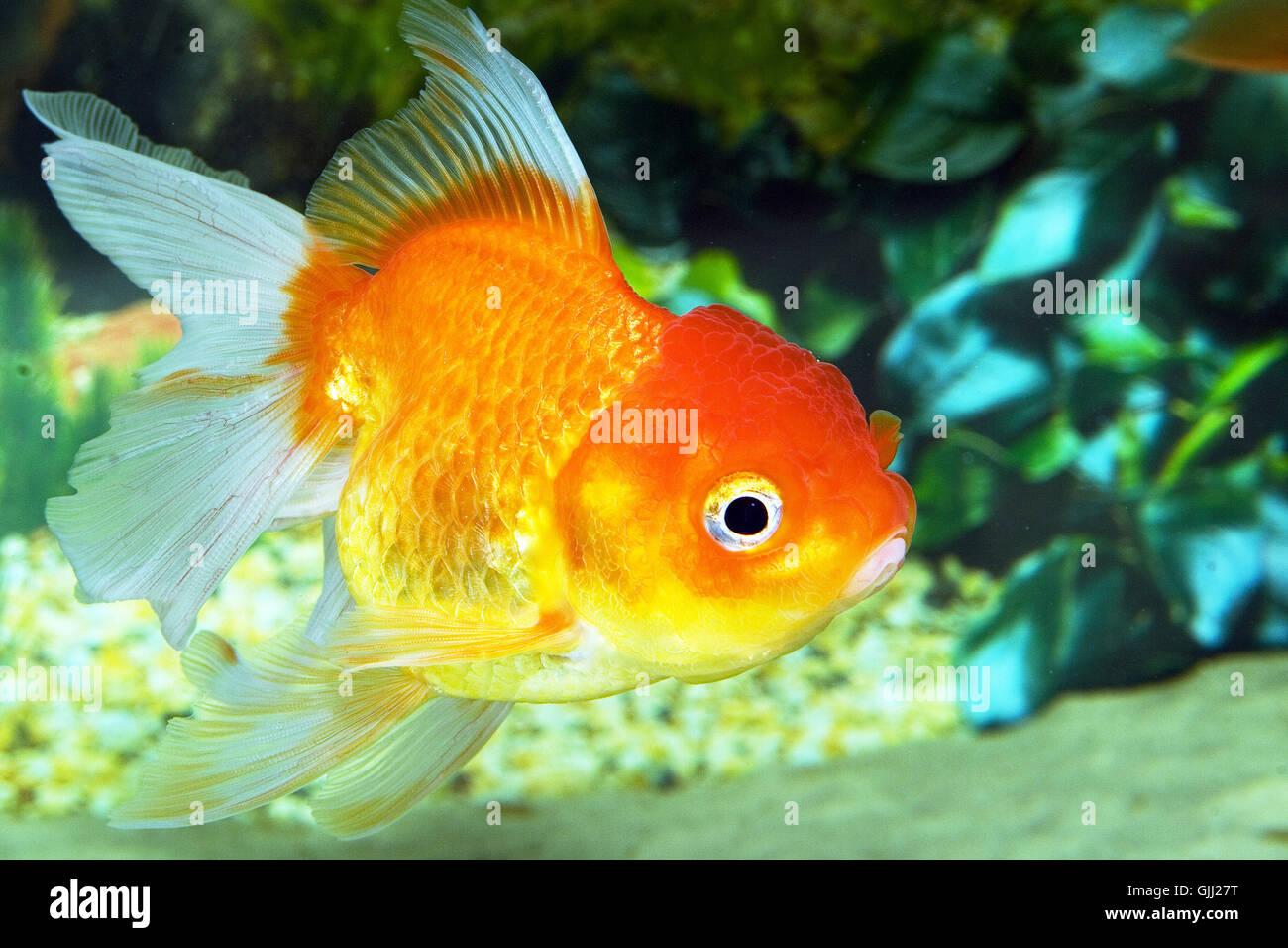 Goldfish Painting Stock Photos & Goldfish Painting Stock Images - Alamy