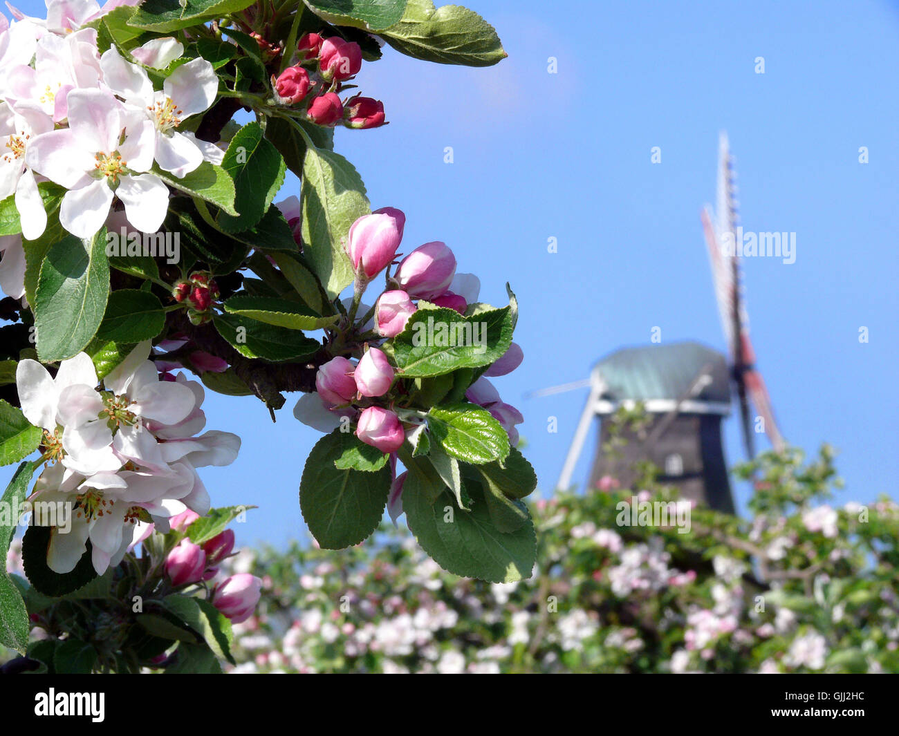 mill Northern Germany apple blossom - Stock Image