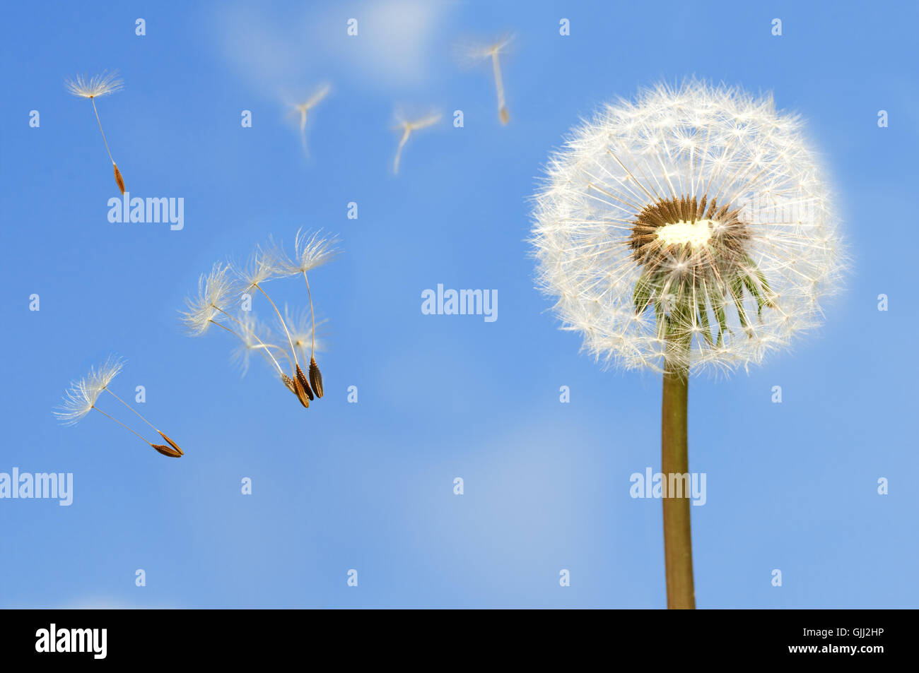 blue dandelion emblements - Stock Image