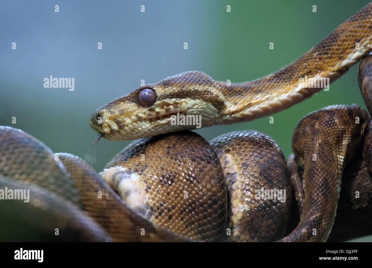 snakes amazon green Stock Photo: 114724135 - Alamy