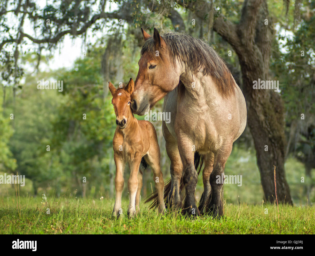 Ardenne mare in green pasture nuzzles her foal. The Ardennes or Ardennais is one of the oldest breeds of draft horse - Stock Image