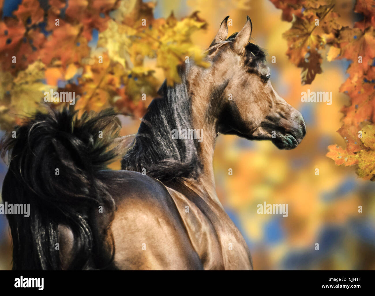 Arabian stallion running amidst fall foiliage. - Stock Image