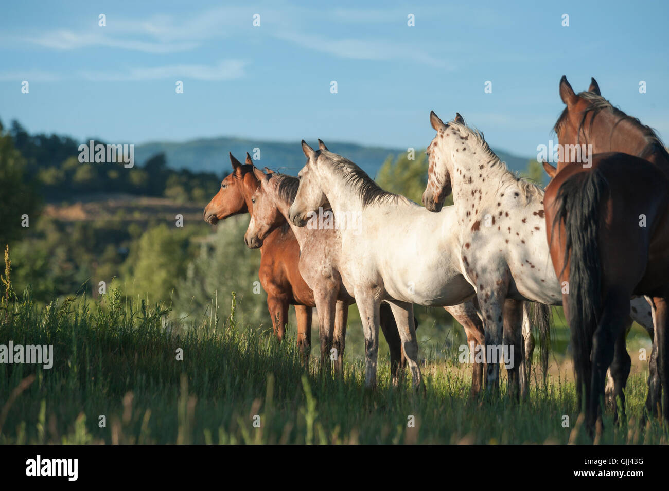 Tiger Horse herd stands alertly on tall grass hillside. The Tiger horse is a modern reconstruction of an ancient - Stock Image