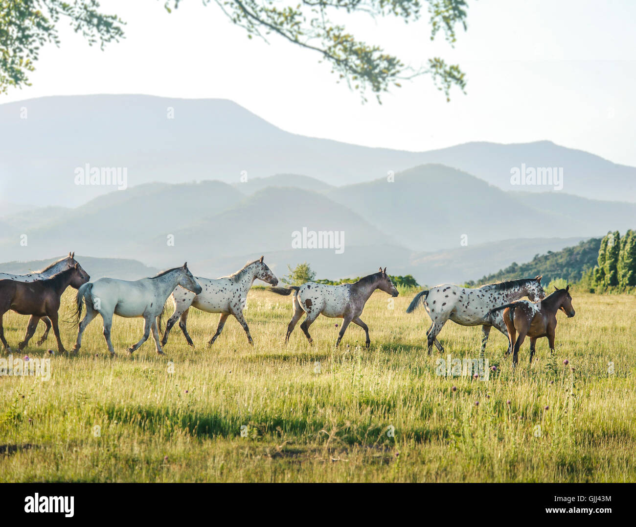 Tiger Horse herd runs across tall grass meadow with misty mountain range in background.  Tiger horses are gaited, - Stock Image
