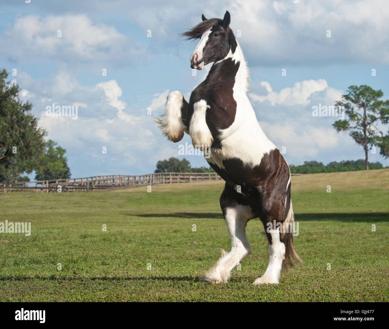 Rearing up Gypsy Vanner Horse filly in grass pasture - Stock Image