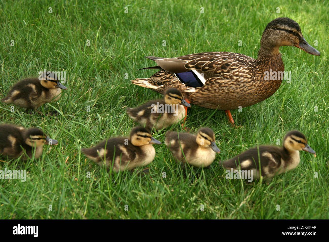 ducks alone-educating familiy - Stock Image