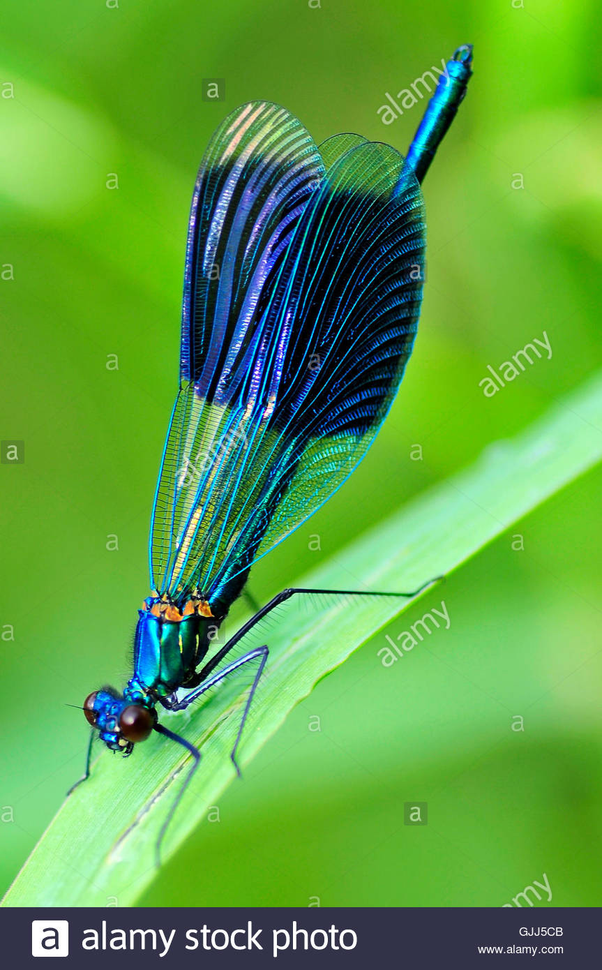 blue dragonfly blade of grass - Stock Image
