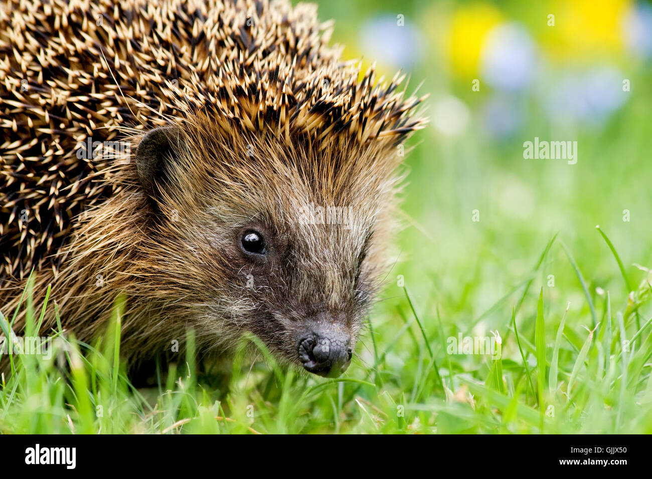 hedgehog portrait - Stock Image