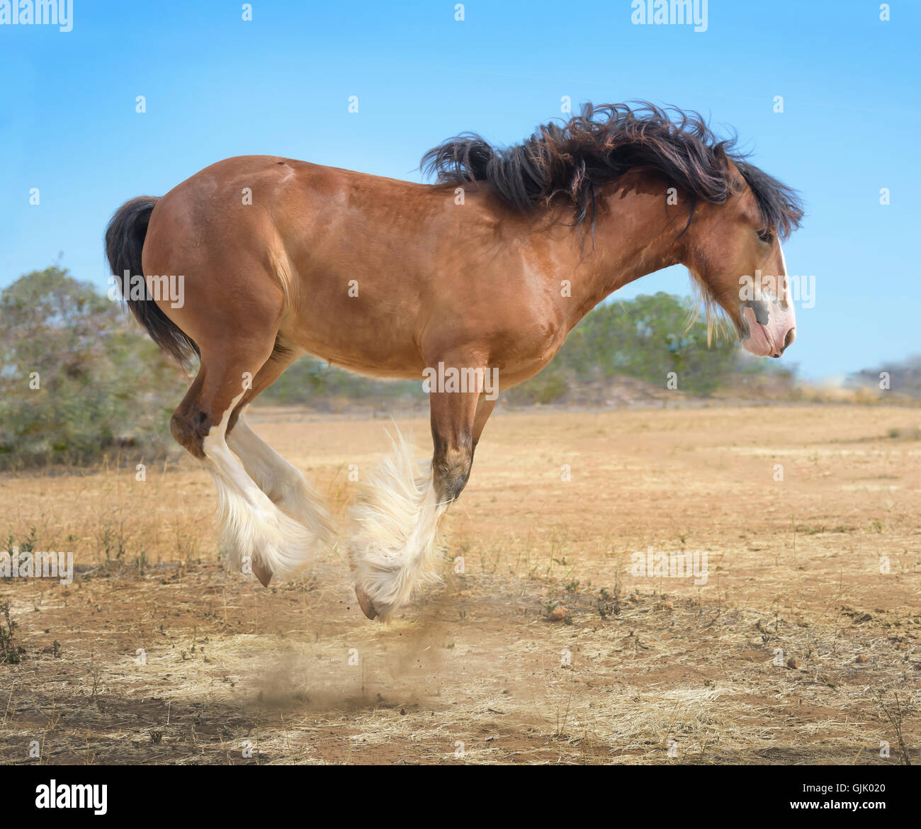 Gypsy Vanner Horse yearling filly bucks with enthusiasm - Stock Image