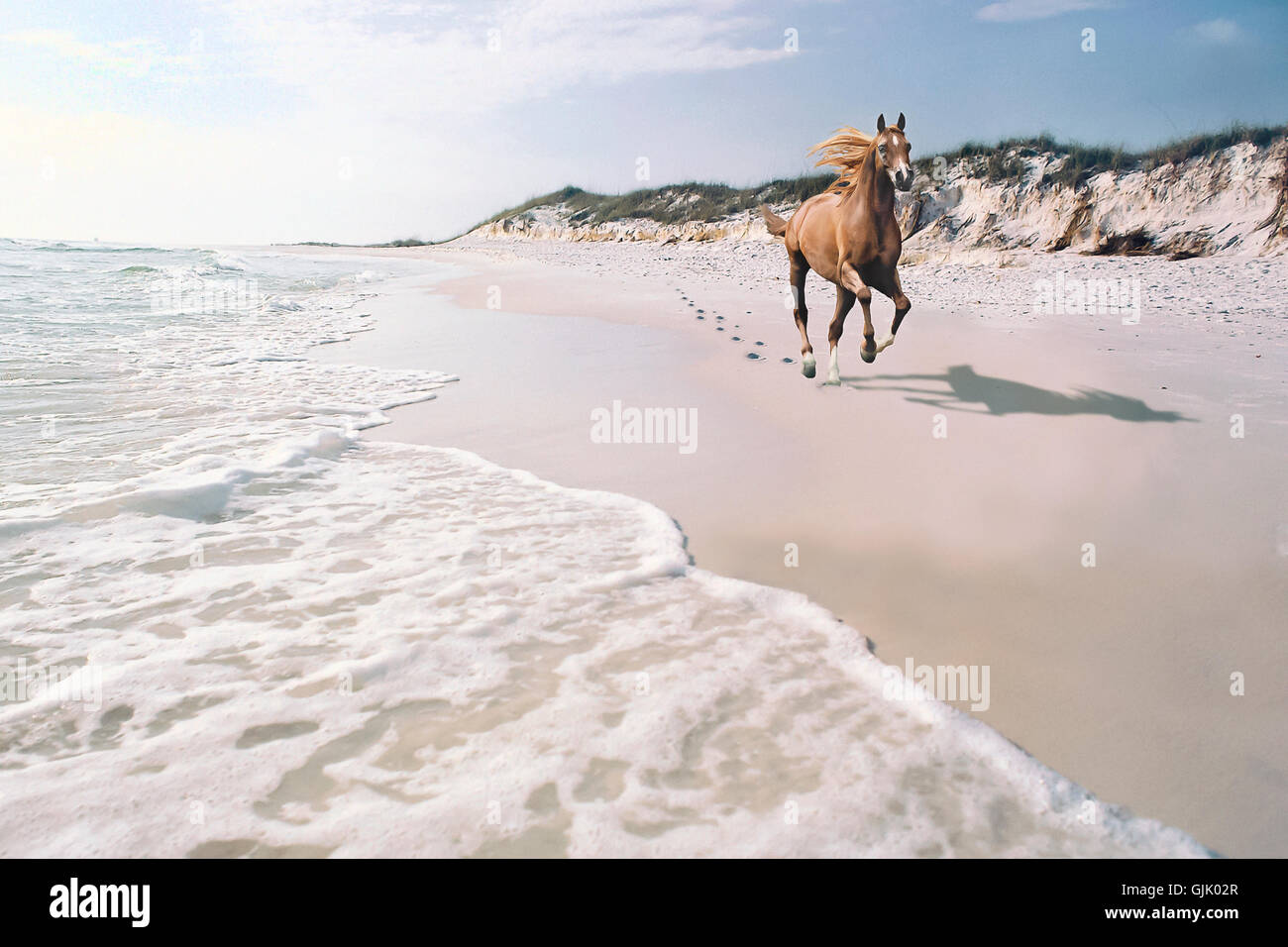 Arabian stallion gallops along beach shore.  Tough, beautiful, intelligent and spirited, the Arabian bloodline has - Stock Image
