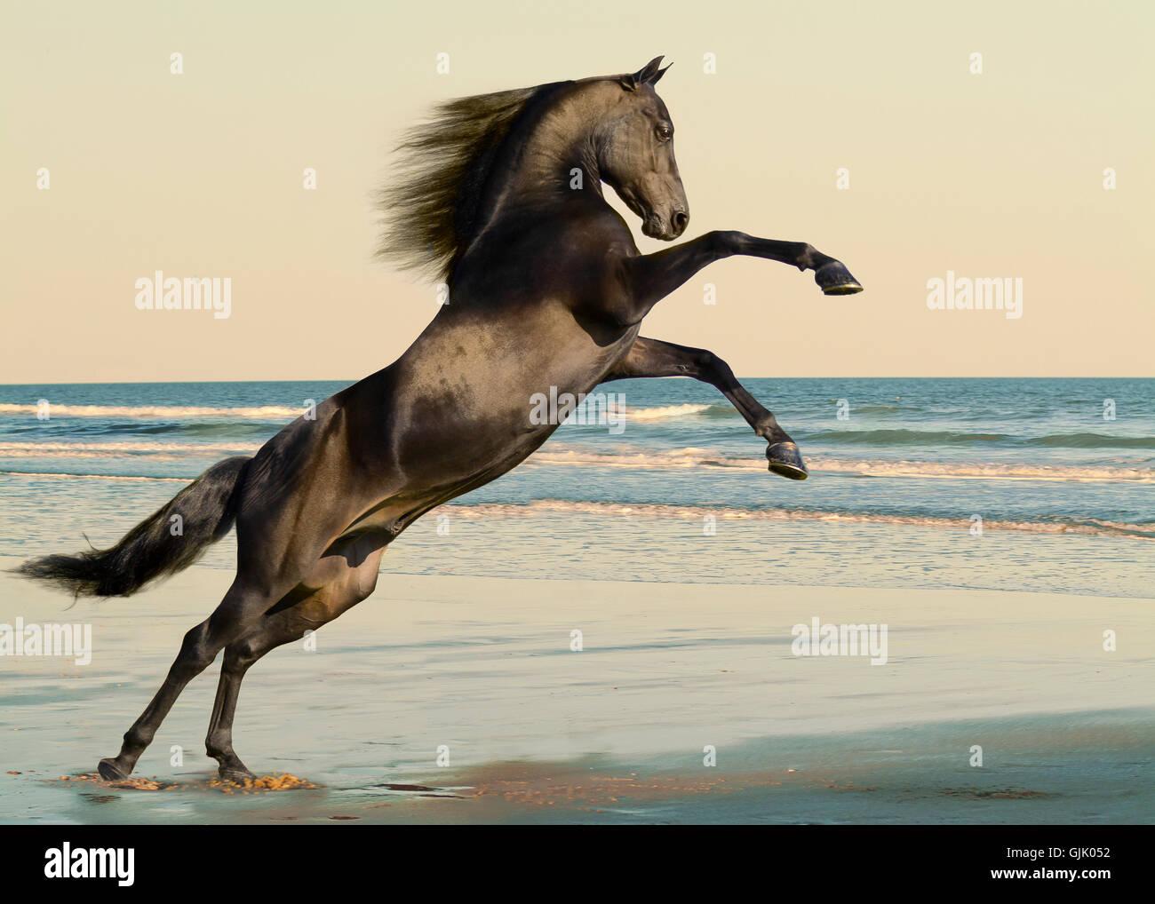 Balck Morgan horse stallion rearing up on ocean beach. - Stock Image