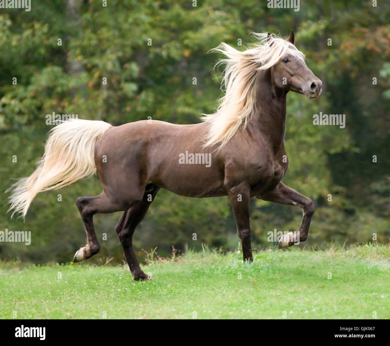 Silver dapple Rocky Mountain Horse stallion trots across open grass paddock - Stock Image