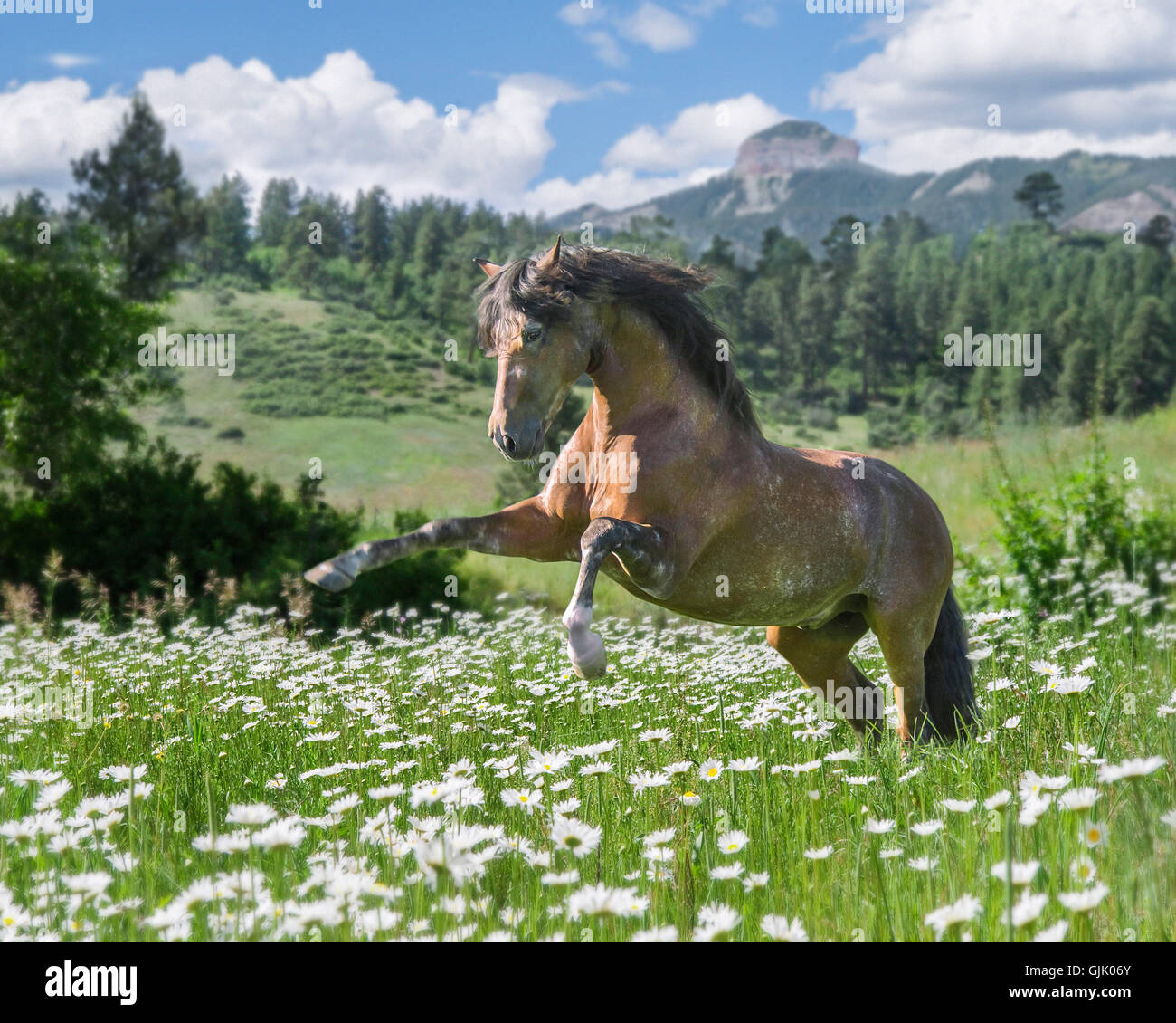 Andalusian horse stallion rears up in wildflower meadow. - Stock Image
