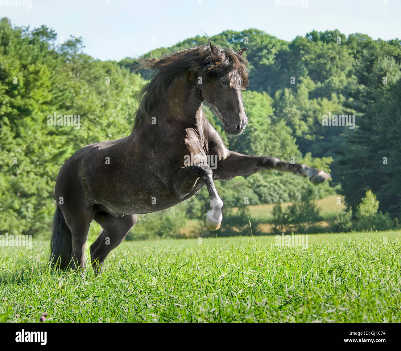 Black Andalusian horse stallion rearing up in tall grass pasture - Stock Image