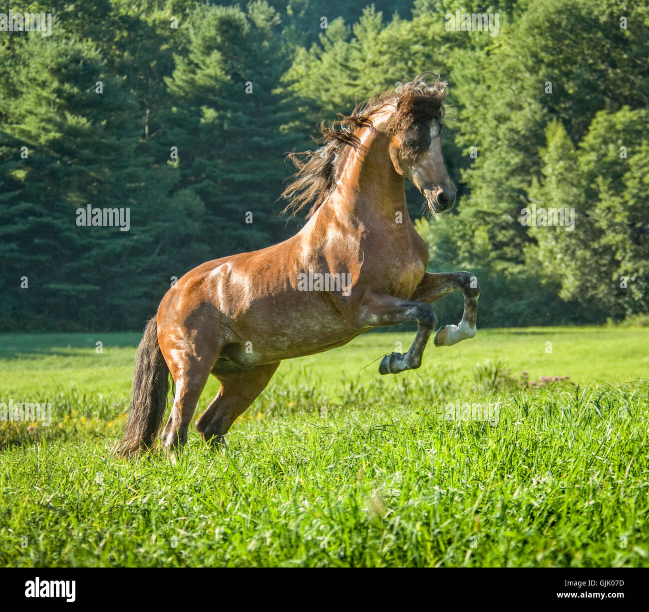 Andalusian horse stallion rearing up in tall grass pasture - Stock Image