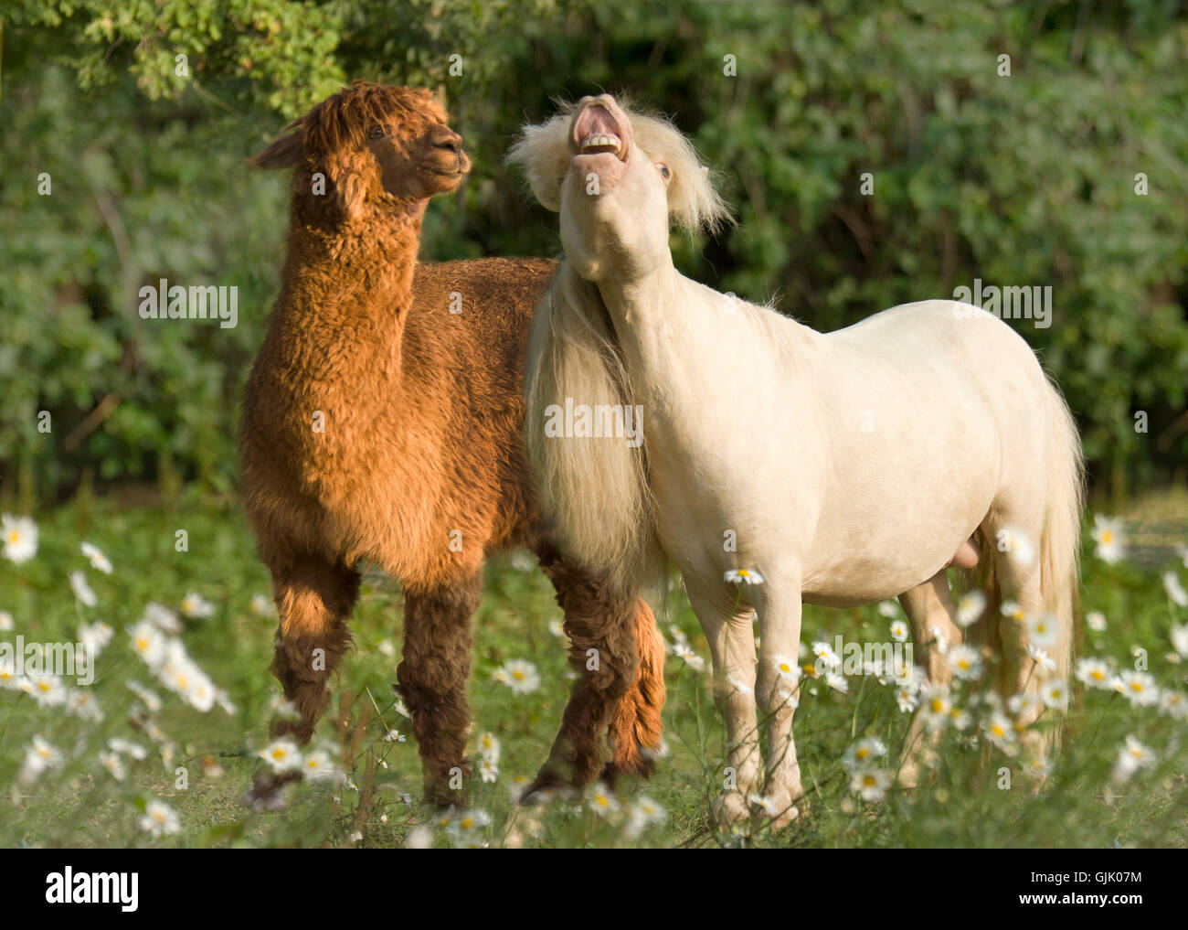 Miniature Horse stallion with llama friend in wildflower meadow - Stock Image