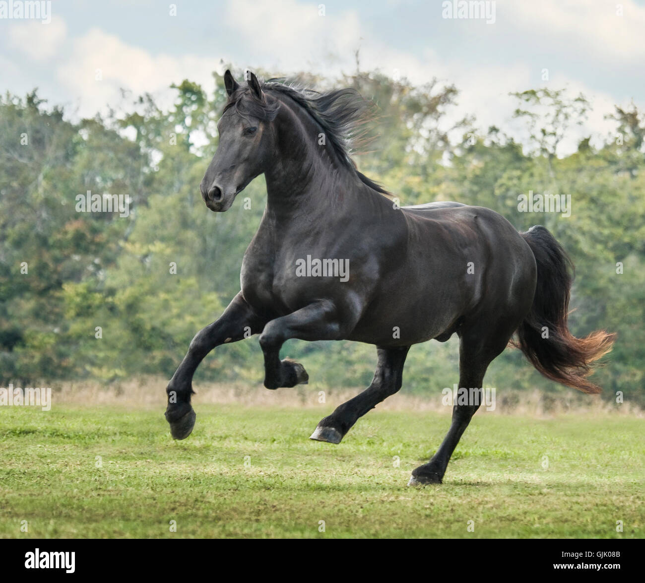 Friesian Horse stallion gallops across green grass pasture - Stock Image