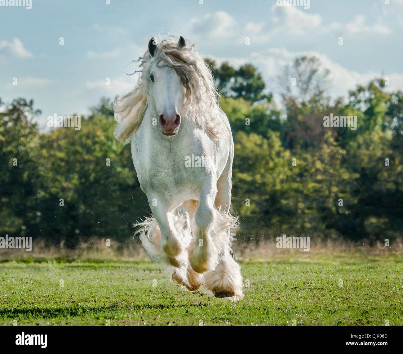 Gray Gypsy Vanner Horse stallion gallups to us - Stock Image