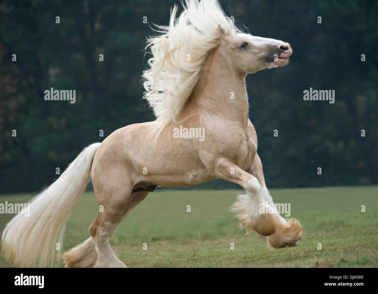Palomino Gypsy Vanner Horse stallion bucks and runs in grass paddock - Stock Image