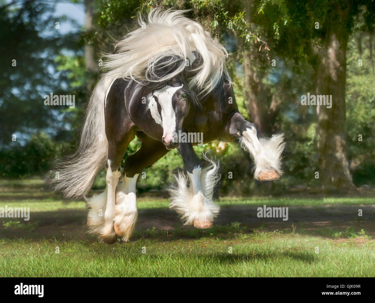 Gypsy Vanner Horse stallion bucks and plays in green pasture - Stock Image