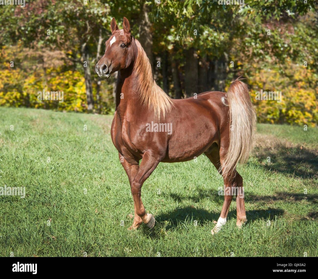 Saddlebred Horse gelding in green grass pasture. - Stock Image