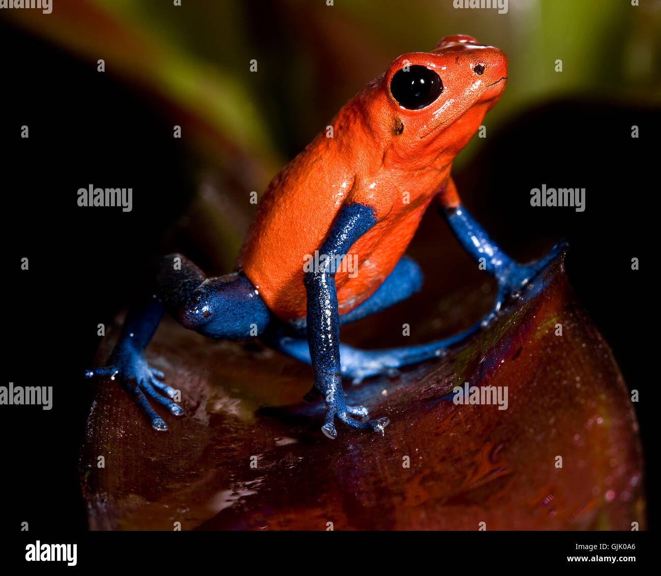 central america frog frogs Stock Photo