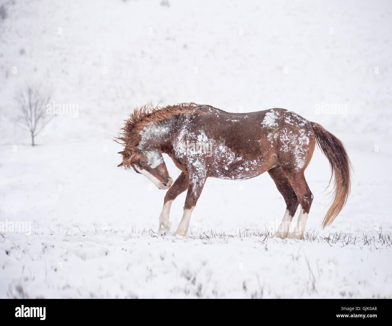 Warmblood stallion getting frisky in snow - Stock Image