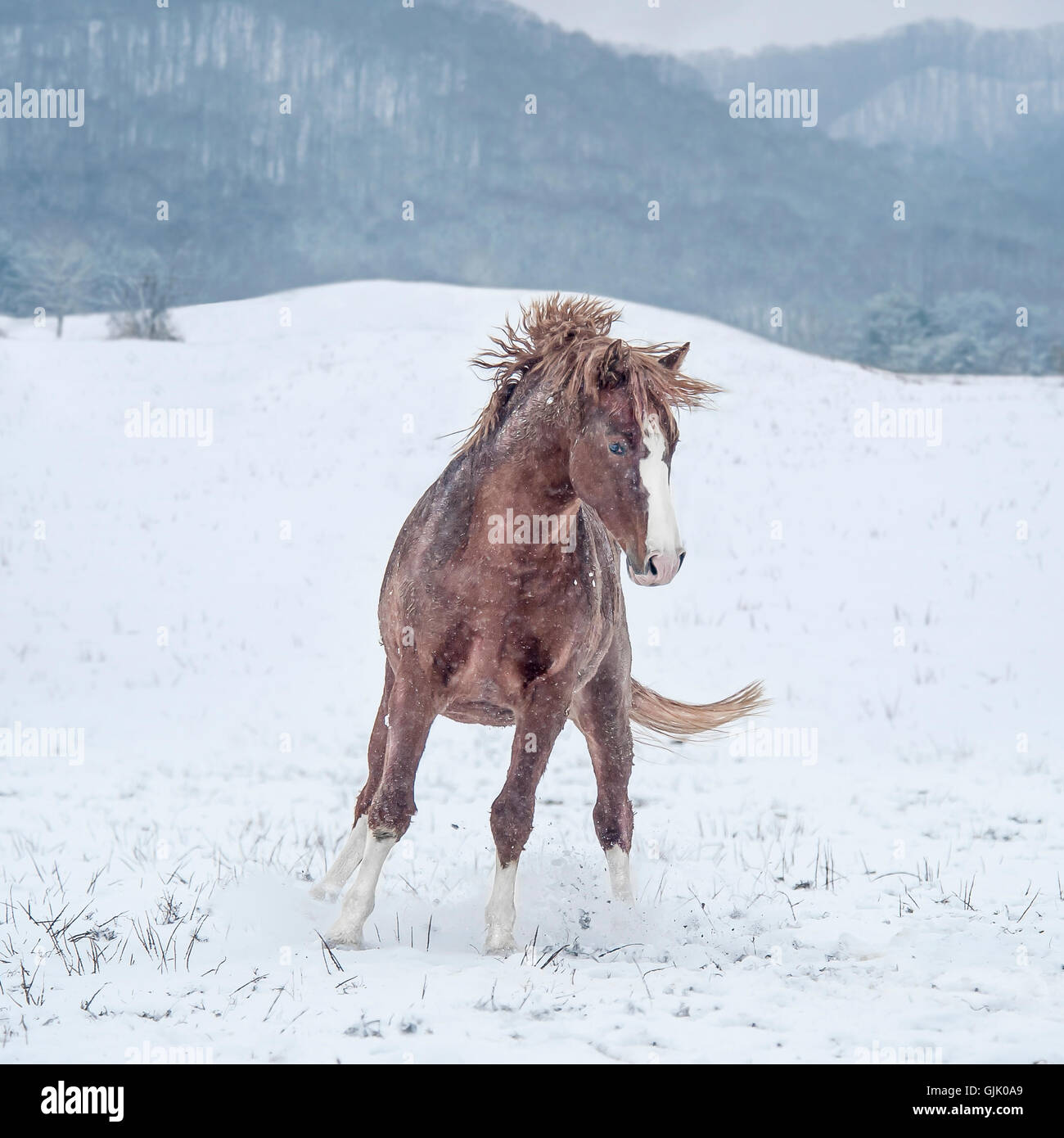 Warmblood stallion getting frisky in snow - Stock Image