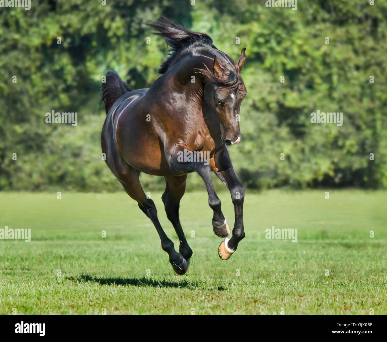 Dark bay Arabian Horse stallion bucks and runs to us Stock ...   1300 x 1149 jpeg 195kB