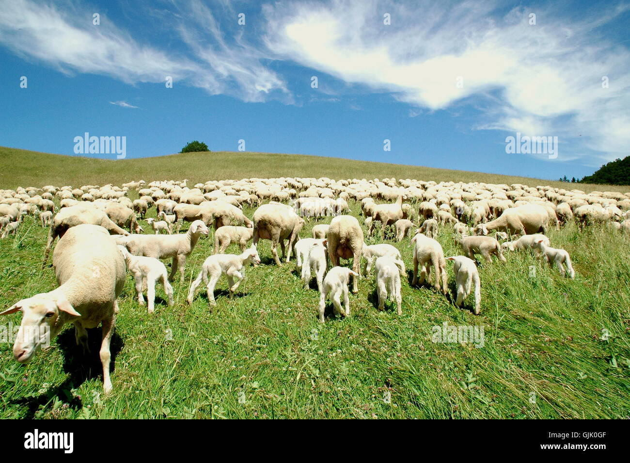 flock of sheep sheep (pl.) firmament - Stock Image